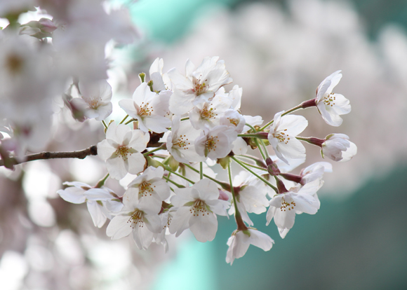 六本木一丁目 桜並木