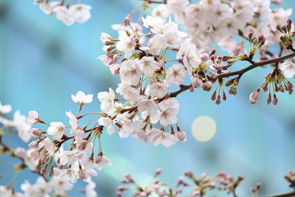 六本木一丁目 桜並木道